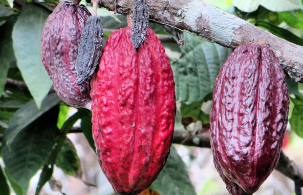 Cocoa pods & beans